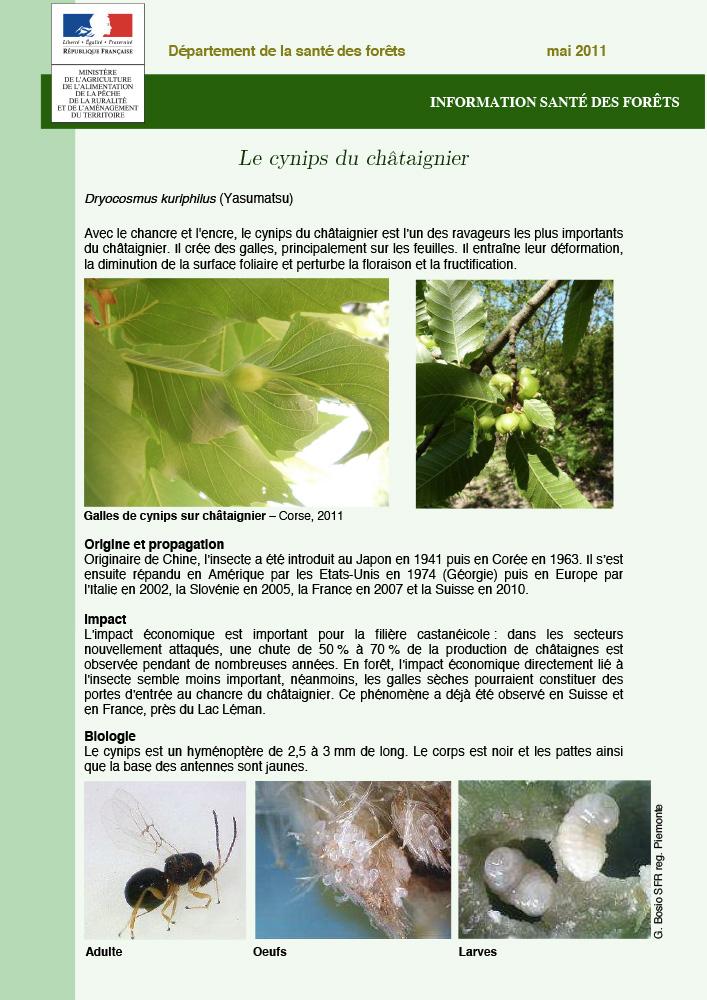 Cynips-du-chataignier-bois-St-Christophe-1